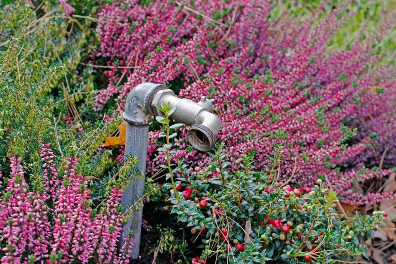 Hahn für Bewässerung, Heide und Moosbeeren lizenzfreies stockbild