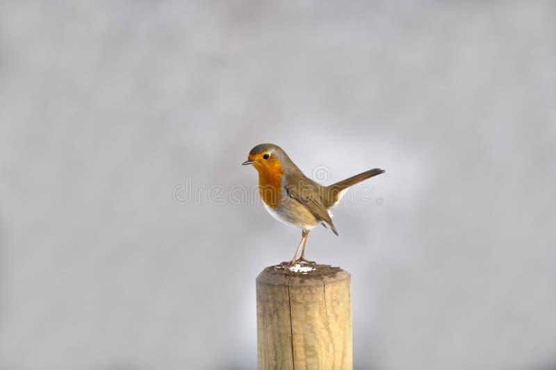 Hahn Robin stockfotografie