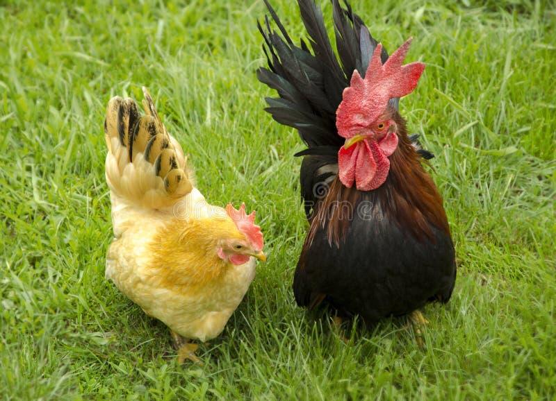 Hahn und Henne auf Gras stockfoto