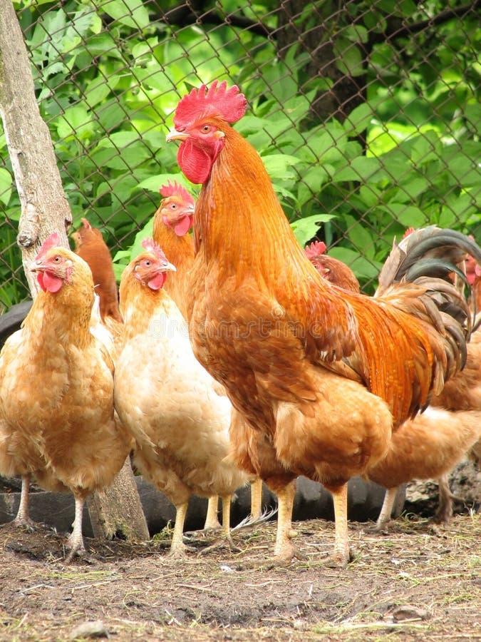 Hahn und Hennen auf dem Bauernhofyard