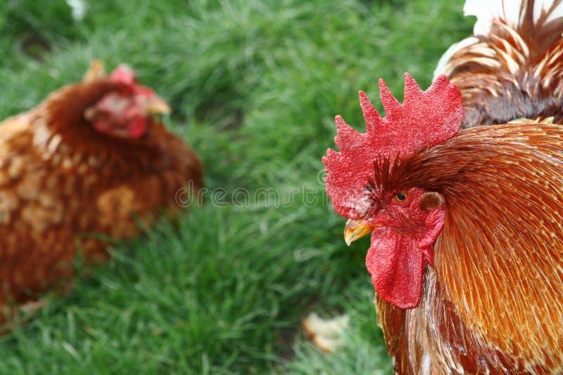 Hahn Und Huhn