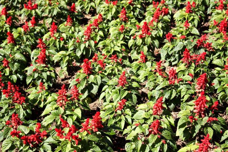 Hahnenkamm oder Wolle blüht, das schöne rote Blumenfeld lizenzfreies stockfoto