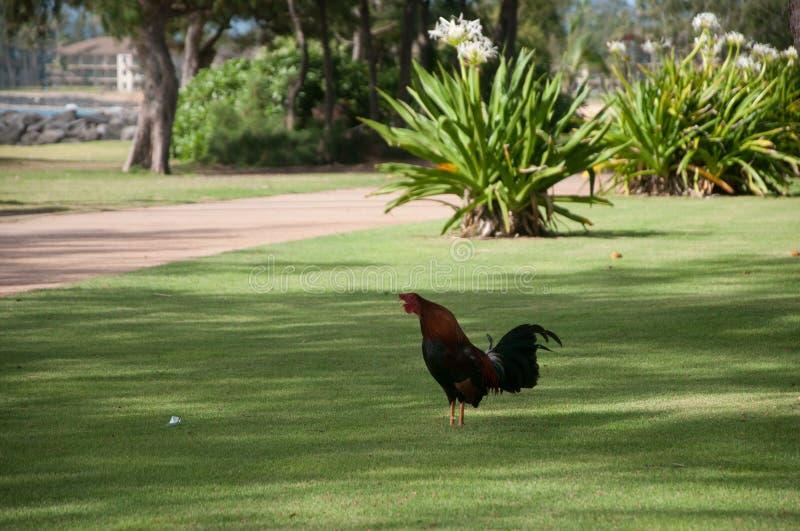 Hahnkrähen auf einem Rasen in Kauai stockfotos