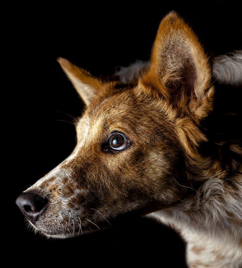 Hai Bangkaew Dog stock fotografie