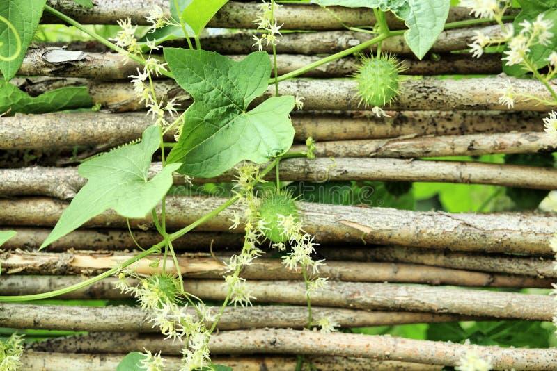 Download Haie image stock. Image du saturé, fleurs, liseron, floral - 8671775