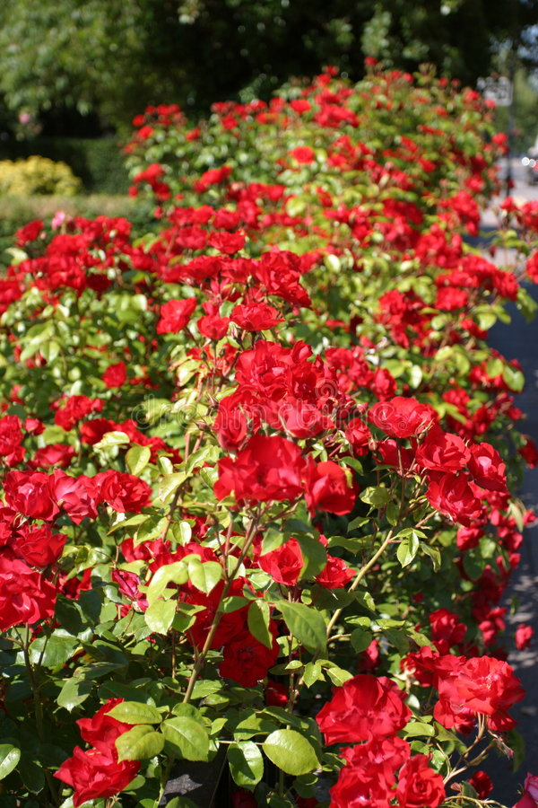 Haie de Rose images stock