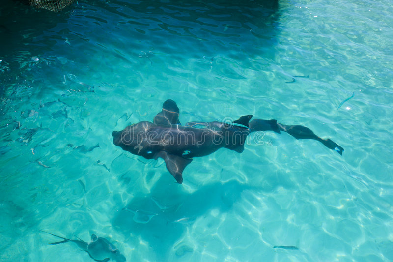 Haifisch auf Oberfläche des Wassers lizenzfreie stockbilder