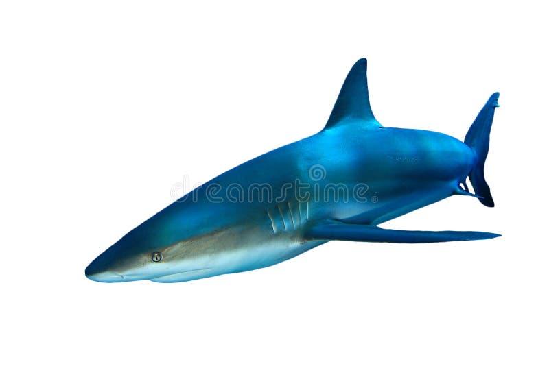 Haifisch auf Weiß lizenzfreie stockbilder