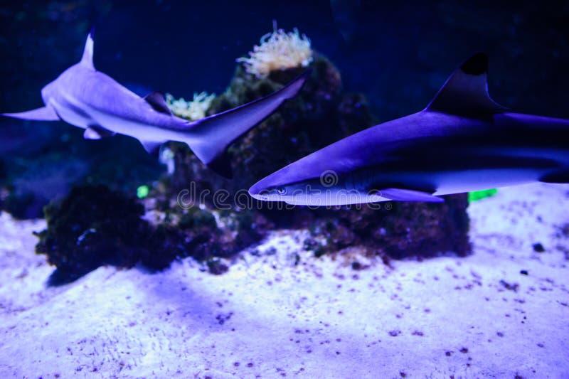 Haifisch, der im tiefen blauen Wasser aufwirft stockbilder