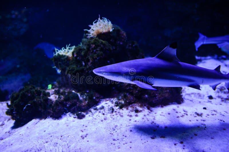 Haifisch, der im tiefen blauen Wasser aufwirft stockbild