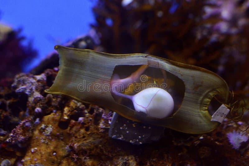 Haifisch Ei