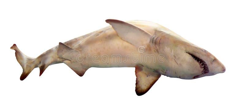 Haifisch. Lokalisiert über Weiß lizenzfreie stockfotos