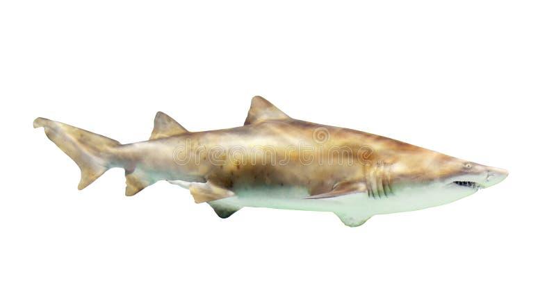 Haifisch Lokalisiert über Weiß stockfotografie