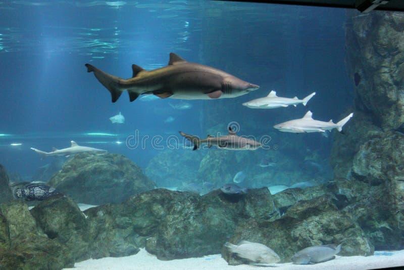 haifische lizenzfreie stockfotografie