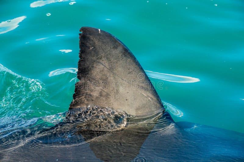 Haifischflosse Überwasser Nahaufnahme-Flosse eines Weißen Hais stockbilder