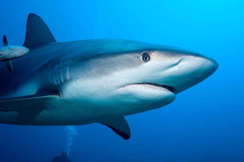 Haifischnahaufnahme in einem Sturzflug stockfotografie