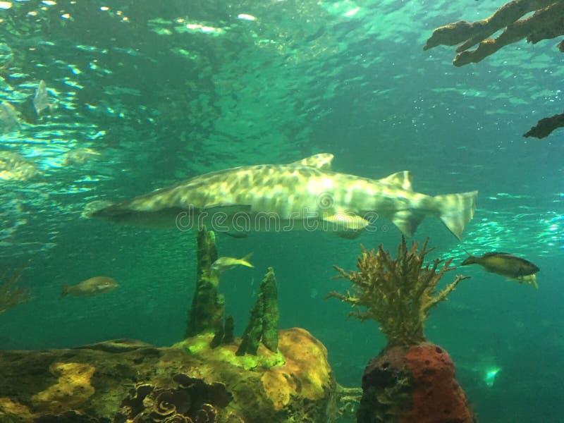 Haifischschwimmen in einem Behälter mit anderen Wassertieren lizenzfreies stockfoto