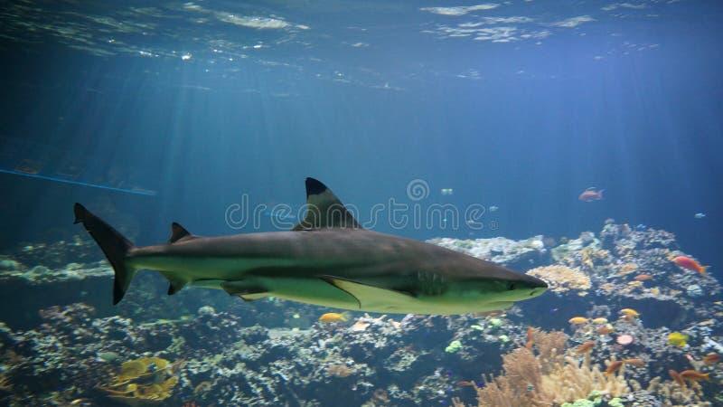 Haifischschwimmen vor Korallenriff lizenzfreie stockbilder
