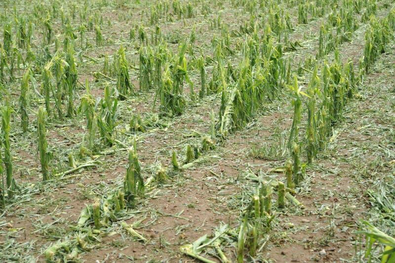Hail damage on maize royalty free stock photography