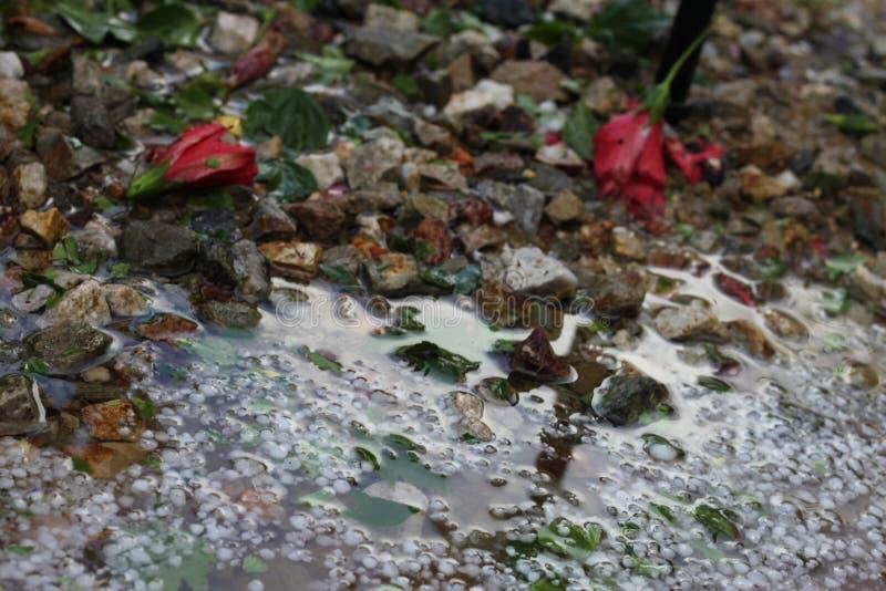 Hail storm hibisus flowers 4468 royalty free stock photo