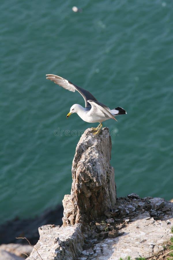 Free Hailu Island Black-tailed Gulls Stock Photos - 32961803