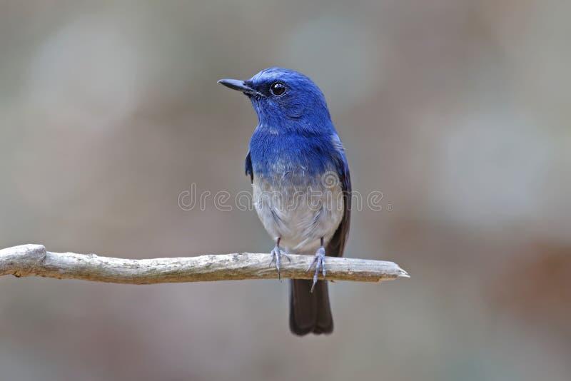 Hainanus Mannelijke Vogels van Cyornis van de Hainan Blauwe Vliegenvanger van Thailand stock fotografie