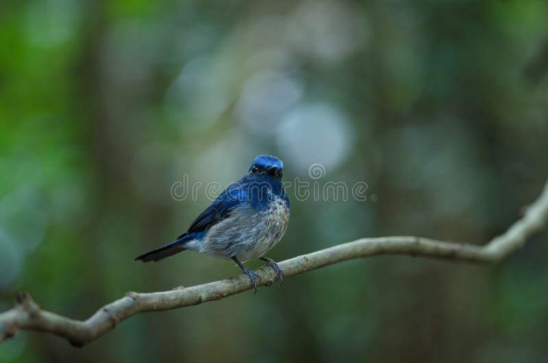Hainanus van Cyornis van de Hainan Blauwe Vliegenvanger stock afbeeldingen