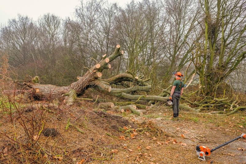 Fallen large tree in the Forest royalty free stock image