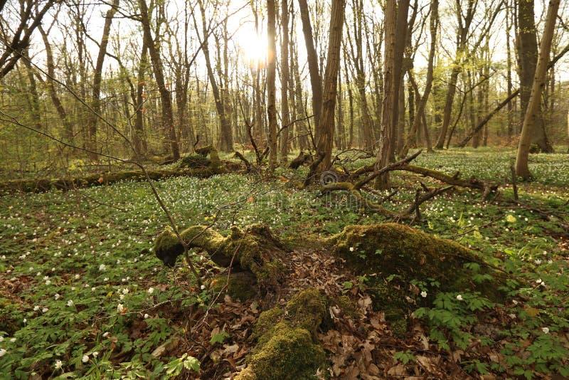 Hainich park narodowy, Bukowa Lasowa ochrona, Niemcy obraz royalty free