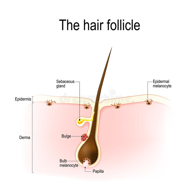 Hair follicle. Anatomy of the hair follicle. distribution of differentiated and immature melanocytes is shown stock illustration
