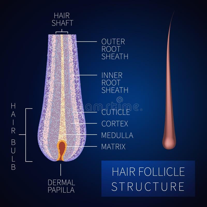 Hair Loss Scheme Stock Vector  Illustration Of Anatomical