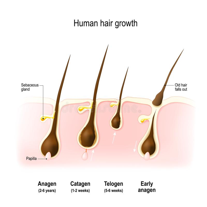 Hair growth cycle stock illustration