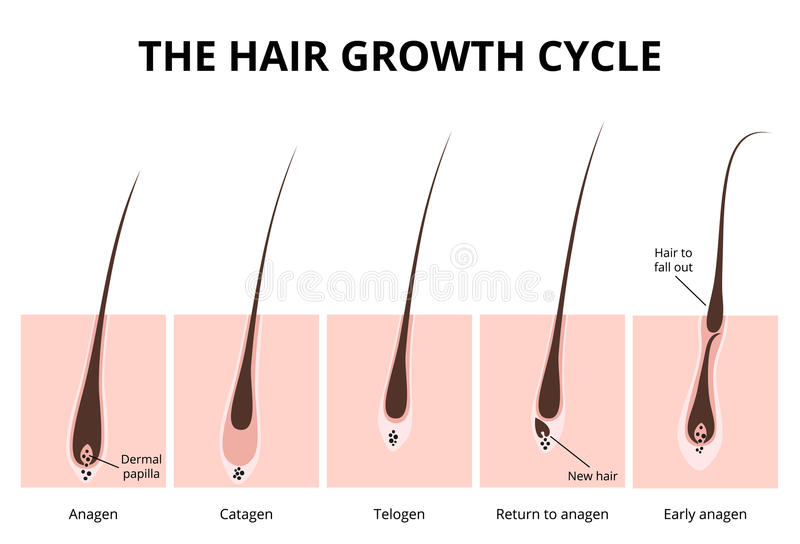 Hair structure vector illustration