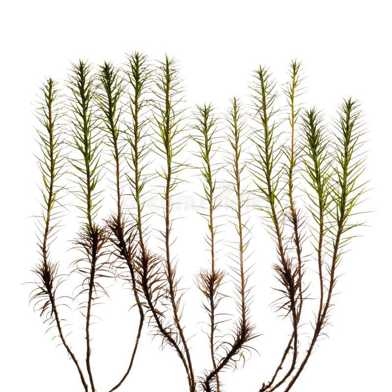 Haircap mossa spirar på vit bakgrund arkivbild