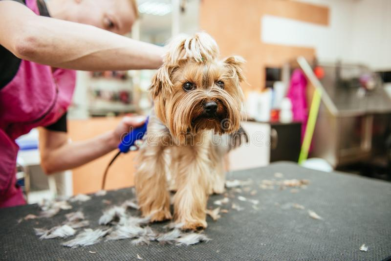 Hairdresser mows Yorkshire Terrier fur on the ear with a trimmer royalty free stock photos