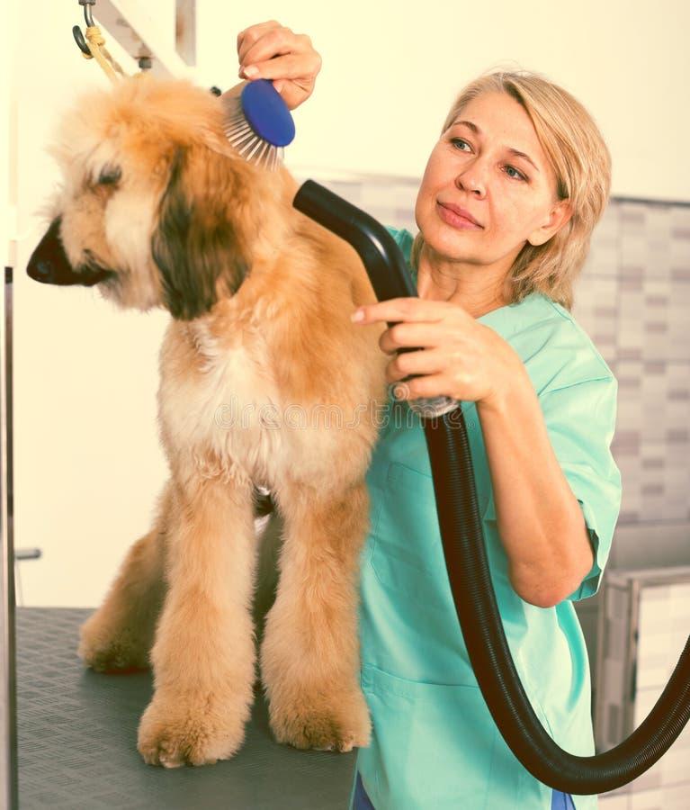 Hairdresser professional dries hair by fen dog fur Afghan hound dog in hairdresser for animal. Woman hairdresser professional dries hair by fen dog fur Afghan stock images
