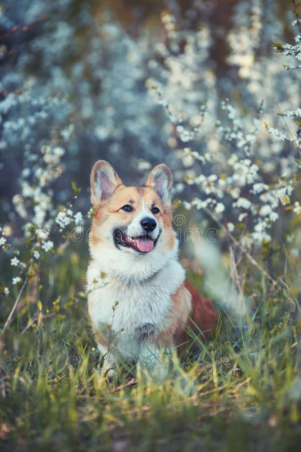 Portrait a red haired Corgi dog puppy sits in a may garden under a flowering white Bush and smiles contentedly with his tongue. Haired Corgi dog puppy sits in a stock photography