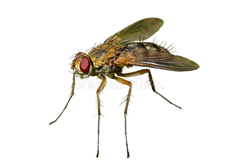 Haired Fly 13 Stock Image
