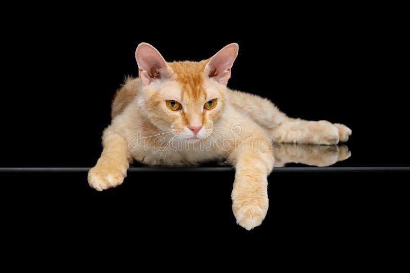 Haired Ginger Sphynx Cat på isolerad svart bakgrund royaltyfri foto