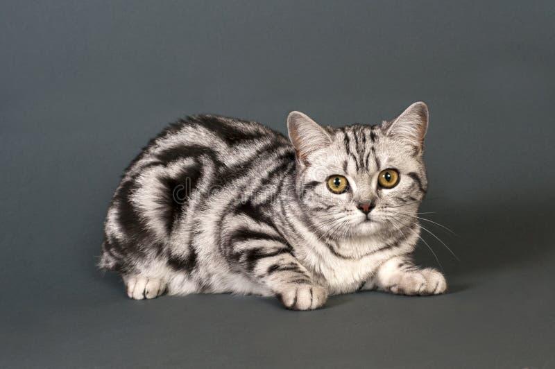 haired kortslutning för brittisk katt royaltyfri bild