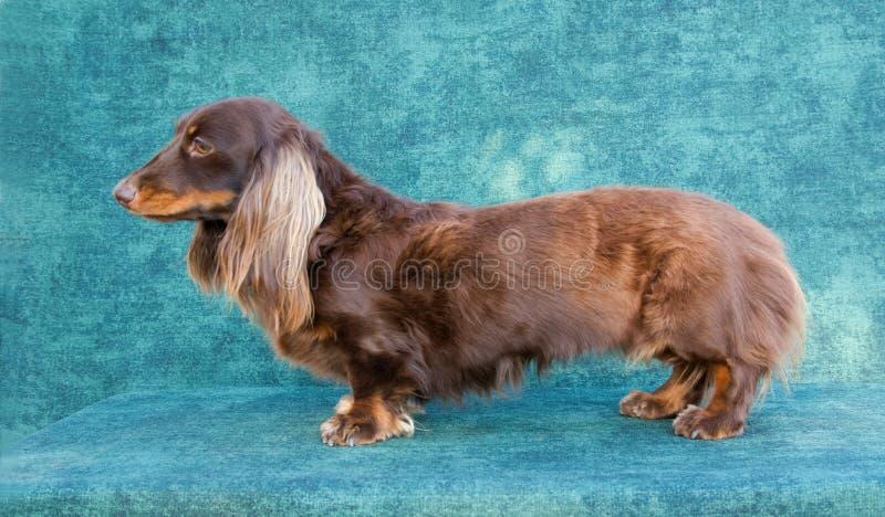 haired långt för daschundhund fotografering för bildbyråer