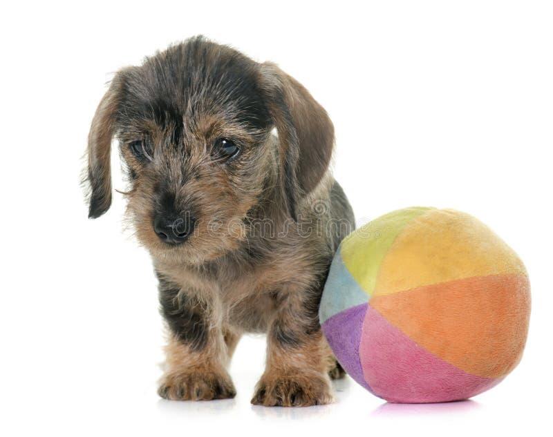 Haired Tekkel van de Draad van het puppy royalty-vrije stock fotografie