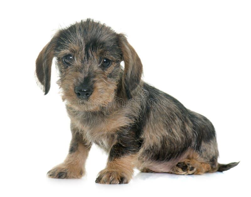 Haired Tekkel van de Draad van het puppy royalty-vrije stock foto