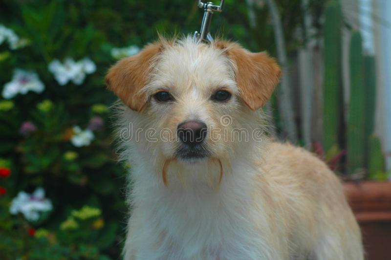 Haired terrierblandning för vit och solbränd tråd royaltyfri bild