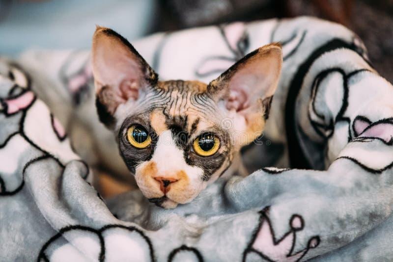 Hairess Sphynx Cat Kitten Snugly Wrapped In una coperta fotografie stock
