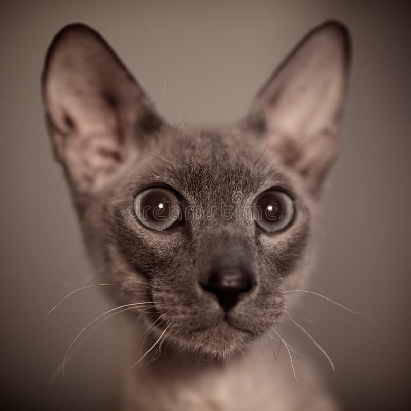 Download Hairless Cat stock image. Image of close, kitten, beautiful - 23278179
