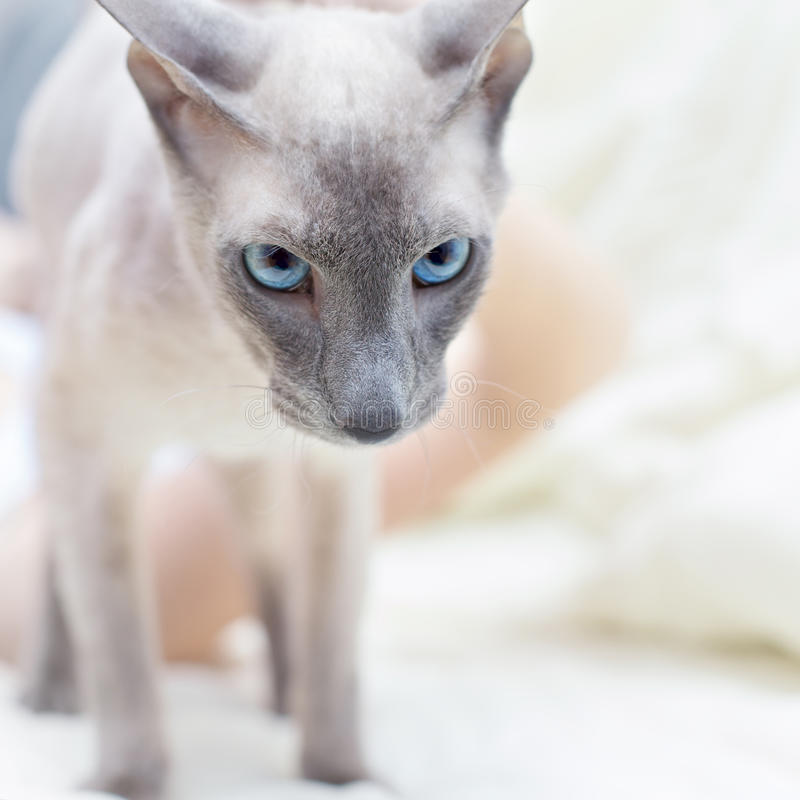 Download Hairless Cat stock image. Image of haired, copper, looking - 26547067