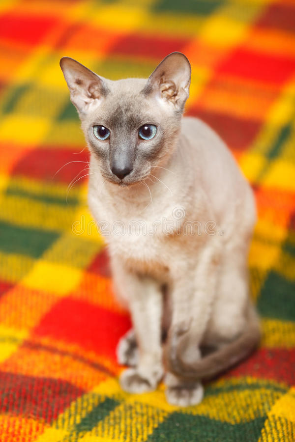 Download Hairless Cat stock photo. Image of luxury, nobleness - 43023478