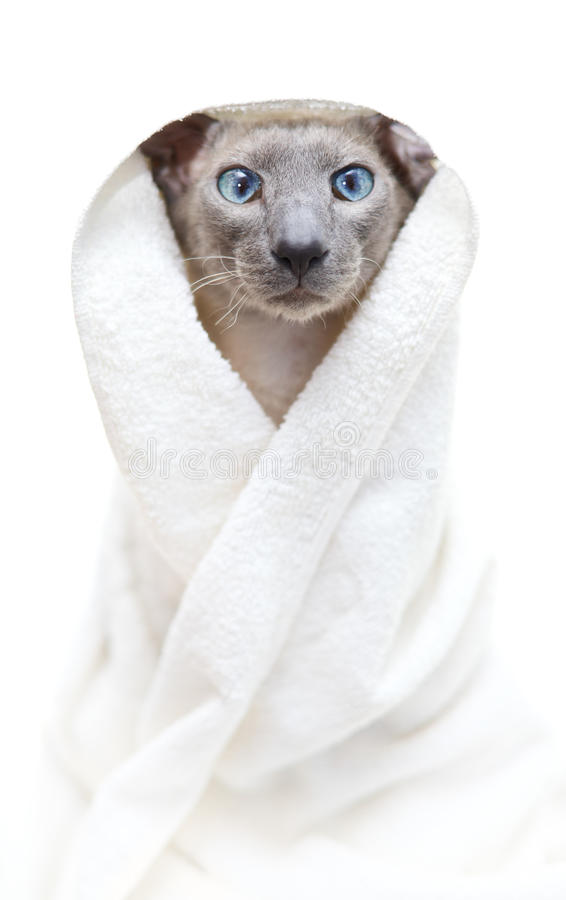 Download Hairless Cat in Towel stock photo. Image of boxer, luxury - 22730944