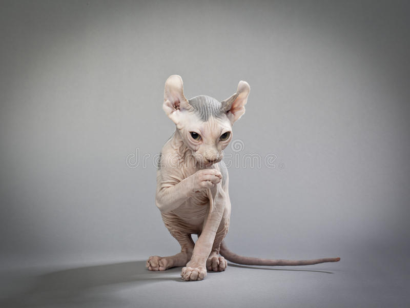 Download Hairless cat with wrinkles stock image. Image of animal - 26527787